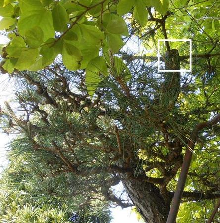 松の木を切る.jpg