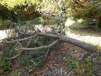 松の木切った.jpg