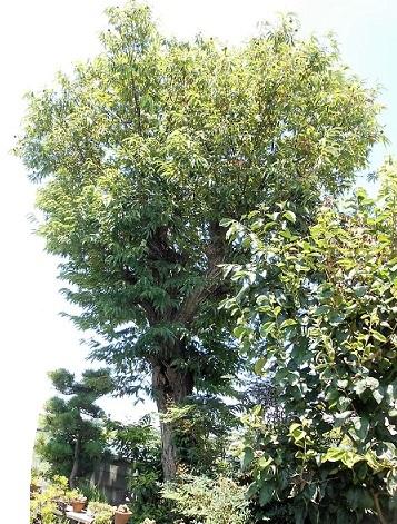 栗の木 (2).JPG