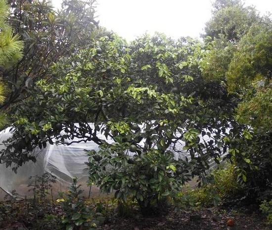 橙の木.JPG