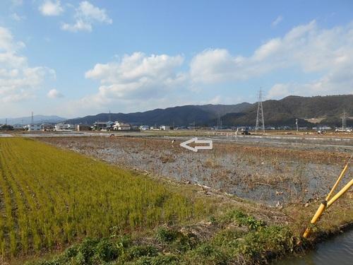 レンコン畑.JPG