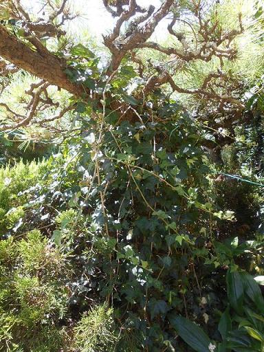 松の木にツタ.JPG