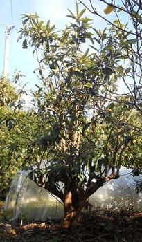 枇杷の木.JPG