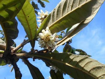 枇杷の花1.JPG