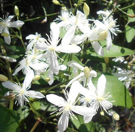 白い花アップ.JPG