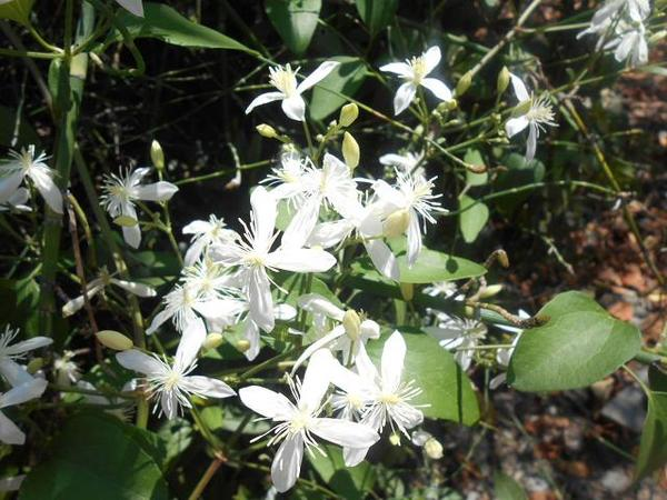 白い花2.JPG