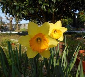 黄色い水仙.jpg